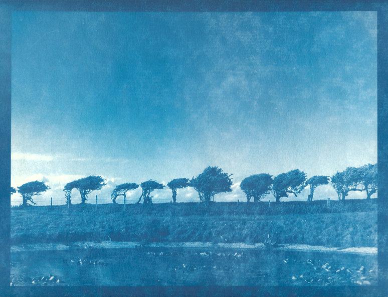 Leaning Trees - cyanotype