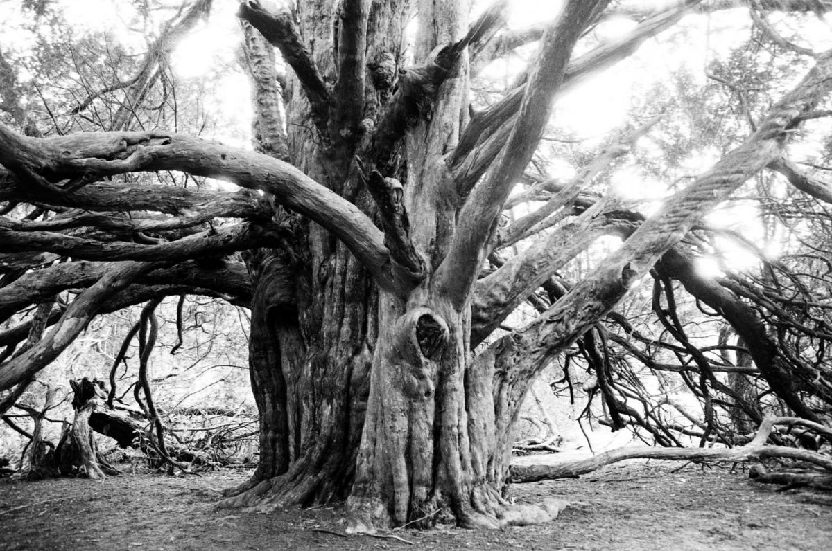YEW TREE, KINGLEY VALE SUSSEX #5