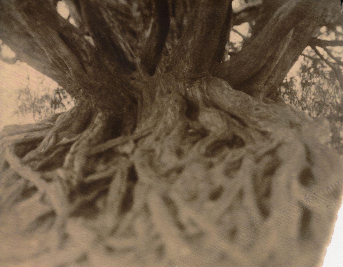 Waverley Abbey Yew Tree